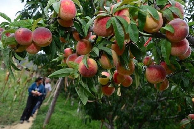 Huergo Maurin precisó que un 70% de este fruto se comercializa en la Ciudad de México y alrededor de un 30% se destina a la industria, especialmente en bases para yogurt, mermeladas y concentrados, entre otros