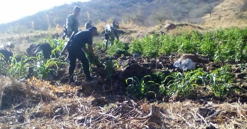 Ante el hallazgo de los predios, las autoridades policiales y castrenses aseguraron y destruyeron las más de mil plantas del enervante