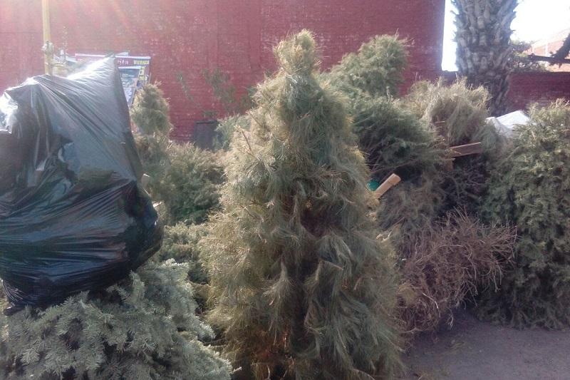 Las facilidades ofrecidas por la Secretaría de Servicios Públicos, mediante la Dirección de Residuos Sólidos, han sido aprovechadas por la comunidad moreliana, así como por empresas de la iniciativa privada, lo que ha arrojado a la fecha un total de 7 mil 736 árboles naturales recolectados