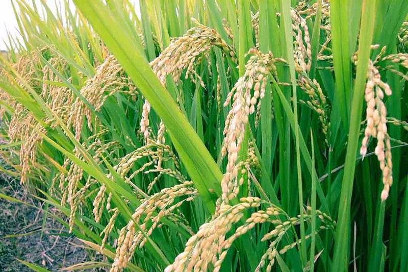 El titular de la Sedrua informó que el municipio de Gabriel Zamora es donde se concentra la mayor superficie del cultivo con 2 mil 332 hectáreas y una producción superior a las 19 mil 926 toneladas
