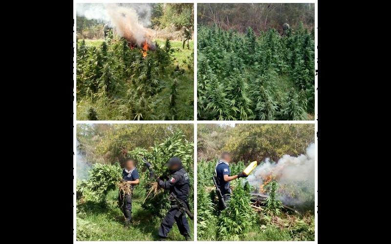 Al inspeccionar los predios detectaron diversas plantas de vegetal verde con las características propias de la droga conocida como marihuana