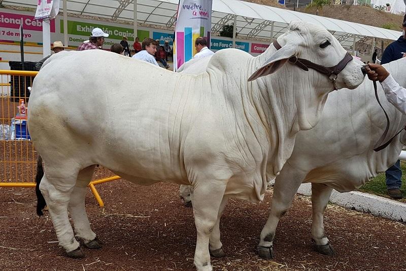 Huergo Maurin dio a conocer que el ganado de razas cebuinas del estado de Veracruz, ha sido de los que más premios han obtenido en el certamen de calificación en pista