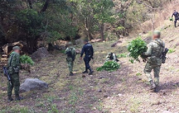 Los agentes policiales y militares procedieron a la destrucción de los plantíos de marihuana que en conjunto sumaron una hectárea