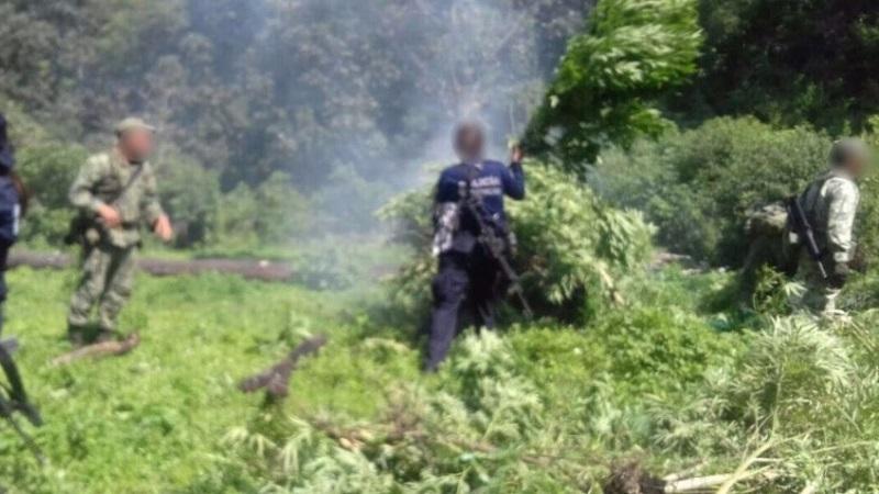 El operativo en la zona se mantiene para la búsqueda y destrucción de más sembradíos