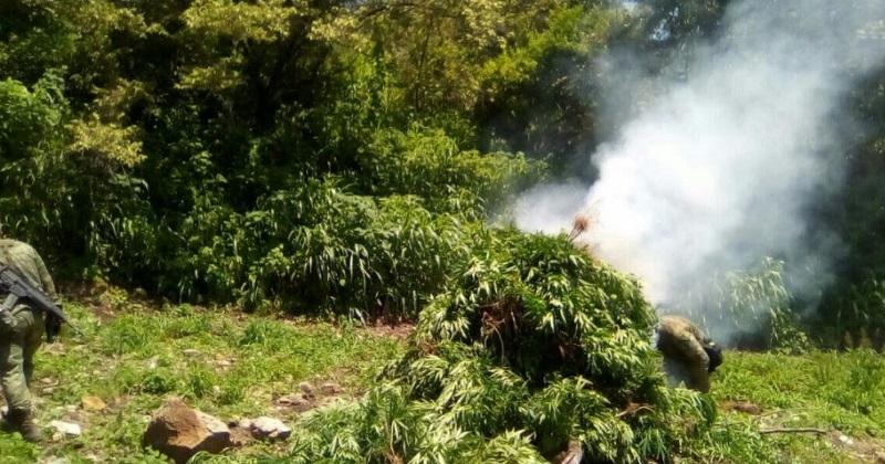 Estos tres sembradíos se suman a la lista de los 25 ya encontrados por las autoridades en Madero, por lo que continúan las labores operativas en la zona serrana para acabar con los remanentes de la delincuencia organizada en este municipio
