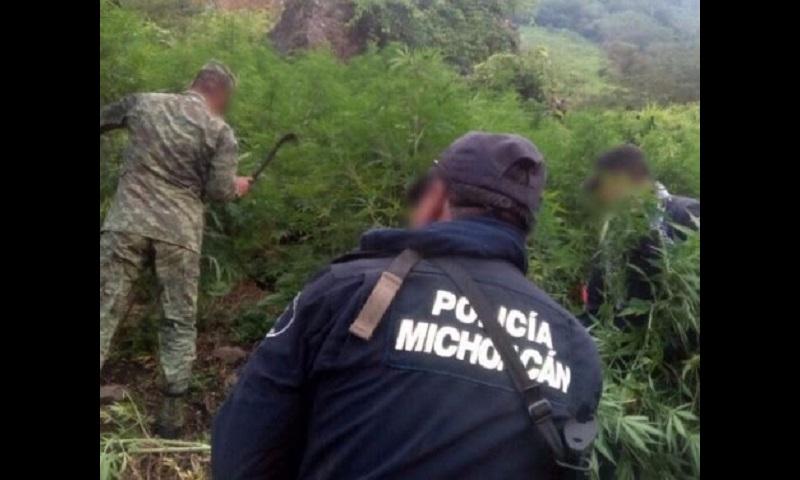 El personal policial y militar procedió a la destrucción e incineración de las plantas, y continúa con acciones operativas para inhibir la compra y venta de este enervante en la entidad