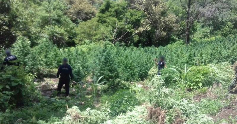 Con estos, llegó a 40 el número de sembradíos de marihuana localizados en este municipio durante los últimos 26 días