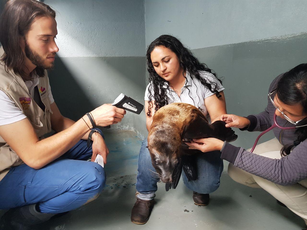 El lobo marino que abandonaron en calles de Morelia ya es trasladado a su hábitat después de ser atendido por personal del Zoológico de Morelia.