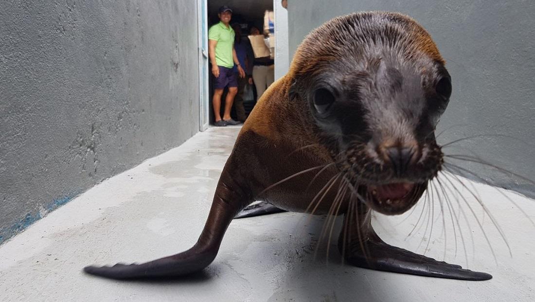Lobo marino bebe rescatado y llevado al Zoológico de Morelia es trasladado a Los Cabos, su hábitat