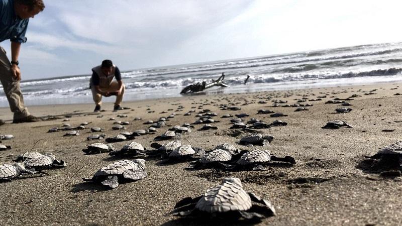 Se recolectaron y resguardaron más de mil 400 huevos de tortuga golfina