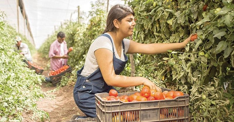 Tanhuato y Yurécuaro, los principales productores de este fruto; Aguililla, con la mayor superficie cultivada