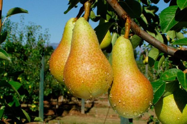Sigala Páez comentó que la pera es una fruta reconocida por sus grandes cantidades de nutrientes, fibras y antioxidantes