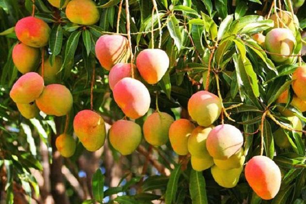 En la geografía michoacana se encuentran establecidas 21 mil 300 hectáreas de mango, de ellas se encuentran en producción más de 18 mil hectáreas