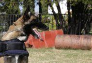 El olfato de un can es 400 veces más agudo al del ser humano, lo que agiliza su desempeño en labores operativas
