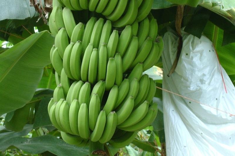 Sigala Páez resaltó que sin duda, la exposición estará sustenta en el principal cultivo de la región que es el plátano y también versará sobre los diferentes platillos y formas de comercializar este fruto