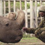 Aparte de él, hay otras dos hembras vivas, ambas hijas de Sudán, también en OlPejeta, pero la fecundación artificial nunca se ha intentado con rinocerontes