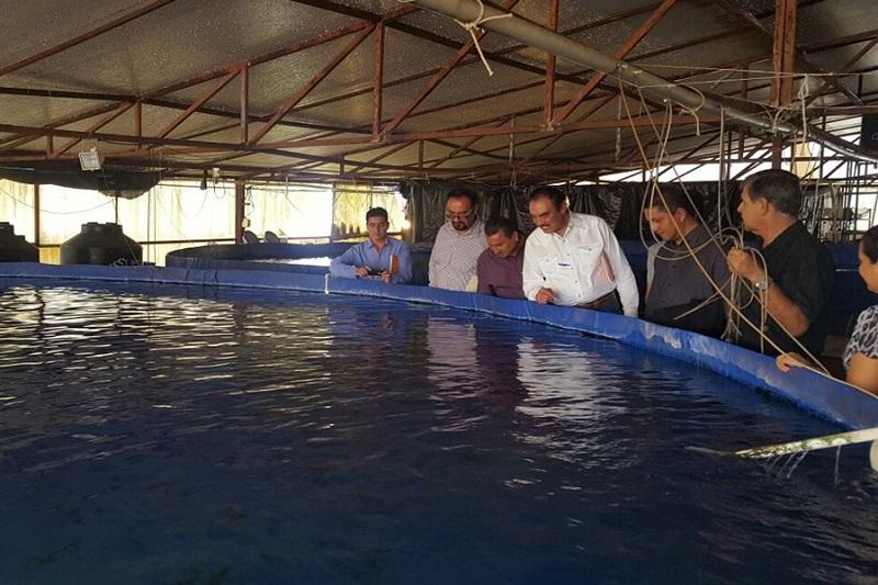Rodríguez López recordó que con más de 27 mil toneladas de producción la tilapia representa el aproximadamente el 57% de volumen michoacano en el sector acuícola y pesquero