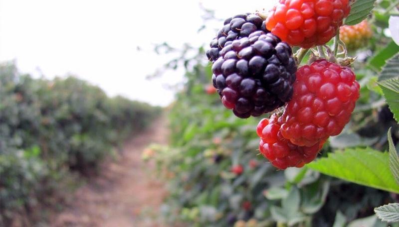 Michoacán aporta el 92% de la producción del fruto, con una producción de 238 mil 831 toneladas que se cultivan en 12 mil 390 hectáreas en 26 municipios