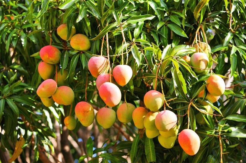 La delegación de la SAGARPA en Michoacán reveló que se rebasó la cifra de 23 mil hectáreas plantadas de mango