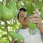 Michoacanos, nueve de cada 10 aguacates exportados por México al vecino país del norte durante el primer trimestre de este año