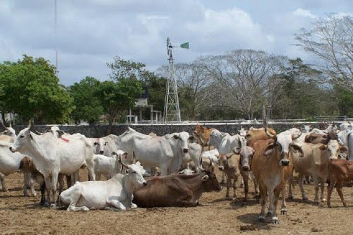 Existe un seguro que cubre 121 mil cabezas de ganado, bovino, ovino, caprino, porcino y colmenas