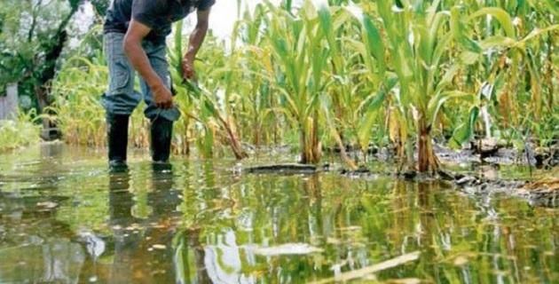 Reportadas a la fecha, mil 653 hectáreas por afectaciones en cultivos por intensas lluvias e inundaciones en los municipios de Penjamillo y Numarán
