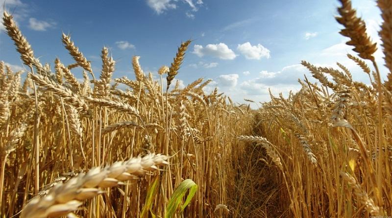 En la República Mexicana se cultivan más de 467 mil hectáreas del grano; los estados con mayor producción son: Sonora, Guanajuato, Baja California, Sinaloa y Michoacán, que es el 5° productor nacional