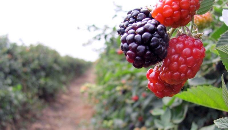 La zarzamora y la fresa, son el segundo y tercer producto, respectivamente, que más valor de la producción le aportan en las exportaciones a Michoacán, después del aguacate