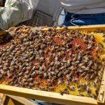 Aproximadamente el 50 por ciento de la miel que se produce en la entidad es exportada a los países de Alemania, España, Japón, Reino Unido y Estados Unidos