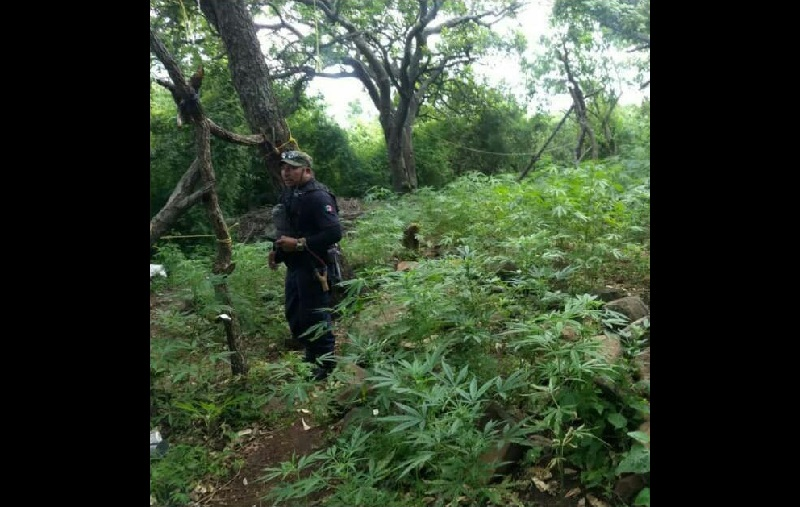 Minutos después del intercambio de balas los civiles lograron darse a la fuga con dirección a la parte alta del cerro, por lo que los elementos policiacos realizaron un operativo en la zona, logrando ubicar un campamento de descanso, así como15 plantíos de marihuana