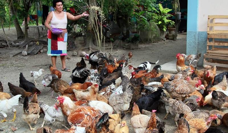 El apoyo que se entrega a cada familia consiste en 20 pollas ponedoras, de las cuales 19 son hembras y un macho; contempla también un comedero, 2 bebederos de 4 litros, 10 metros de malla gallinera y un bulto de alimento de 20 kilos