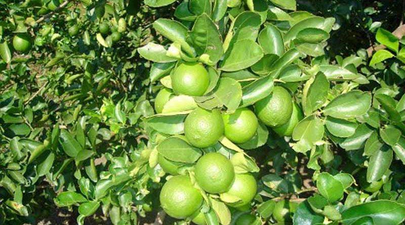 Medina Niño destacó que nuestro estado produce el 62% del limón mexicano, es decir más de 695 mil toneladas y en menor cantidad de la variedad persa