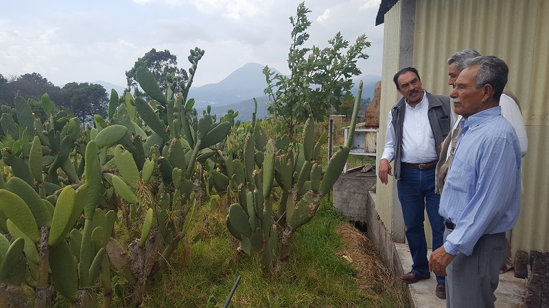 Son 12 los municipios que la cultivan, de los cuales destacan por mayor producción Ziracuaretiro, Morelia y Huetamo