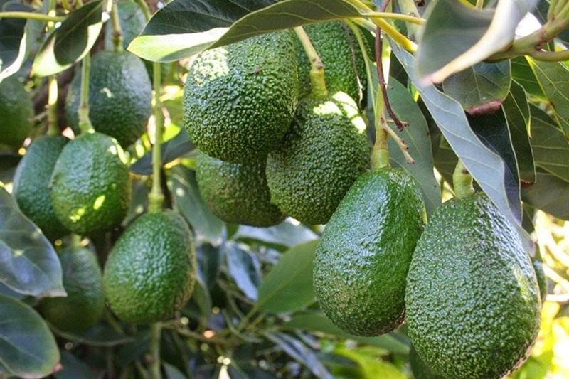 Nuestro estado es el productor frutero de México y el pilar que sostiene la economía; por noveno año consecutivo, ratifica su liderazgo en el valor de la producción con ingresos superiores a los 81 mil mdp