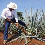 El estado de Michoacán cuenta con tres mil 522 hectáreas sembradas de agave en 36 municipios.