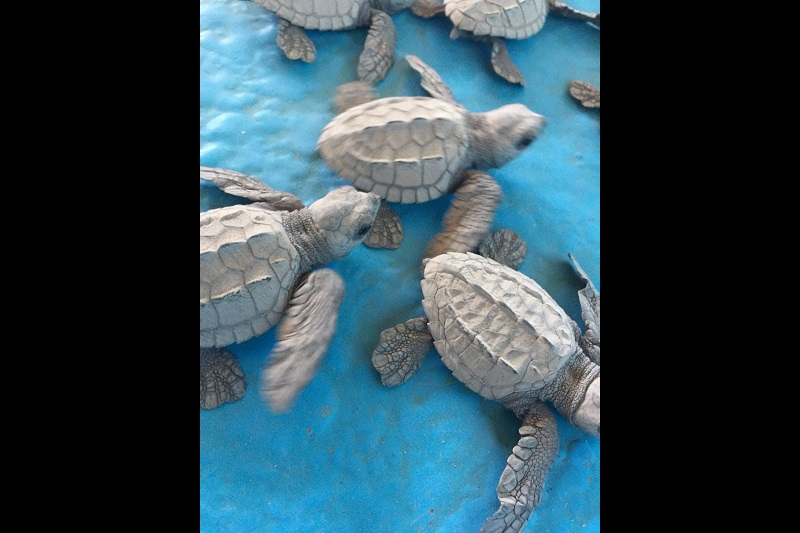 Realiza ProAm operativos para la conservación de la tortuga marina