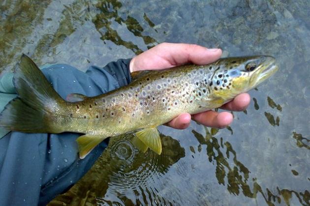 El responsable de la política pesquera de la entidad, subrayó que la trucha es un pescado muy saludable y nutritivo, de sabor suave y bajo en grasa, con apenas un 3%