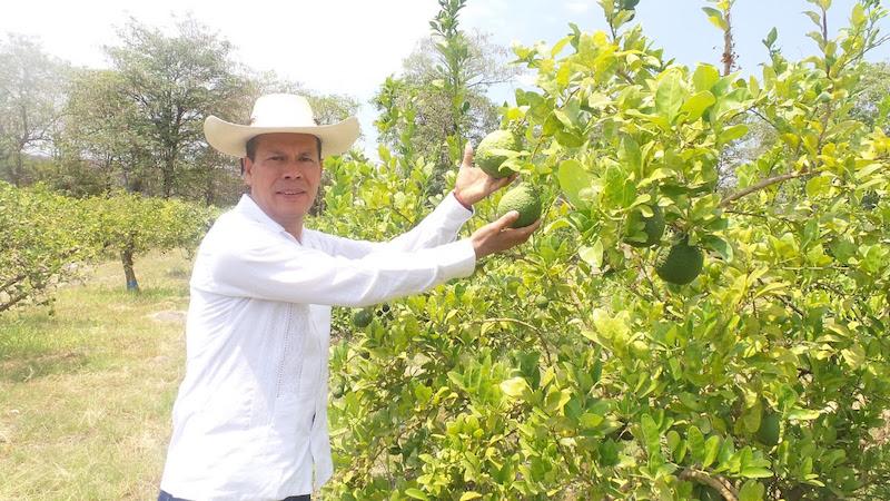 Son 3 mil 957 productores los que se dedican a la actividad citrícola; el cultivo de naranja y lima van avanzando, contándose hasta el momento con 126 hectáreas de naranja que arrojan una producción de más de 2 mil 500 toneladas