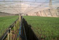 La Cofom impulsa las plantaciones forestales comerciales de estas especies, en las cuales, los árboles duran al menos 5 años plantados y en ese tiempo brindan servicios ambientales