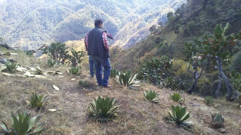 El director de Delegaciones de la Sedrua, Octavio Ocampo Peña, supervisó los plantíos de agave, así como el equipamiento de las destiladoras, para constatar el cumplimiento del cultivo de agave por parte de los productores