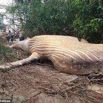 El caso es desconcertante, pues no se explican cómo apareció una ballena jorobada frente a Brasil en febrero