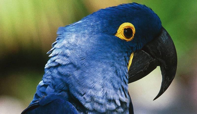 Esta especie, también conocida como papagayo azul, fue declarado extinto en septiembre de 2018 por la organización Birdlife International
