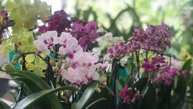 La exhibición y venta de orquídeas tendrá una duración de cuatro días, el acceso es gratuito